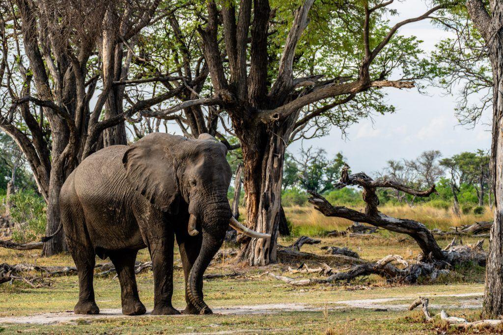 Elefant Moremi